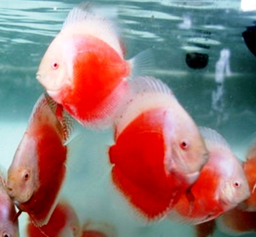 Albino Red White Discus Fish - 3-4 inch